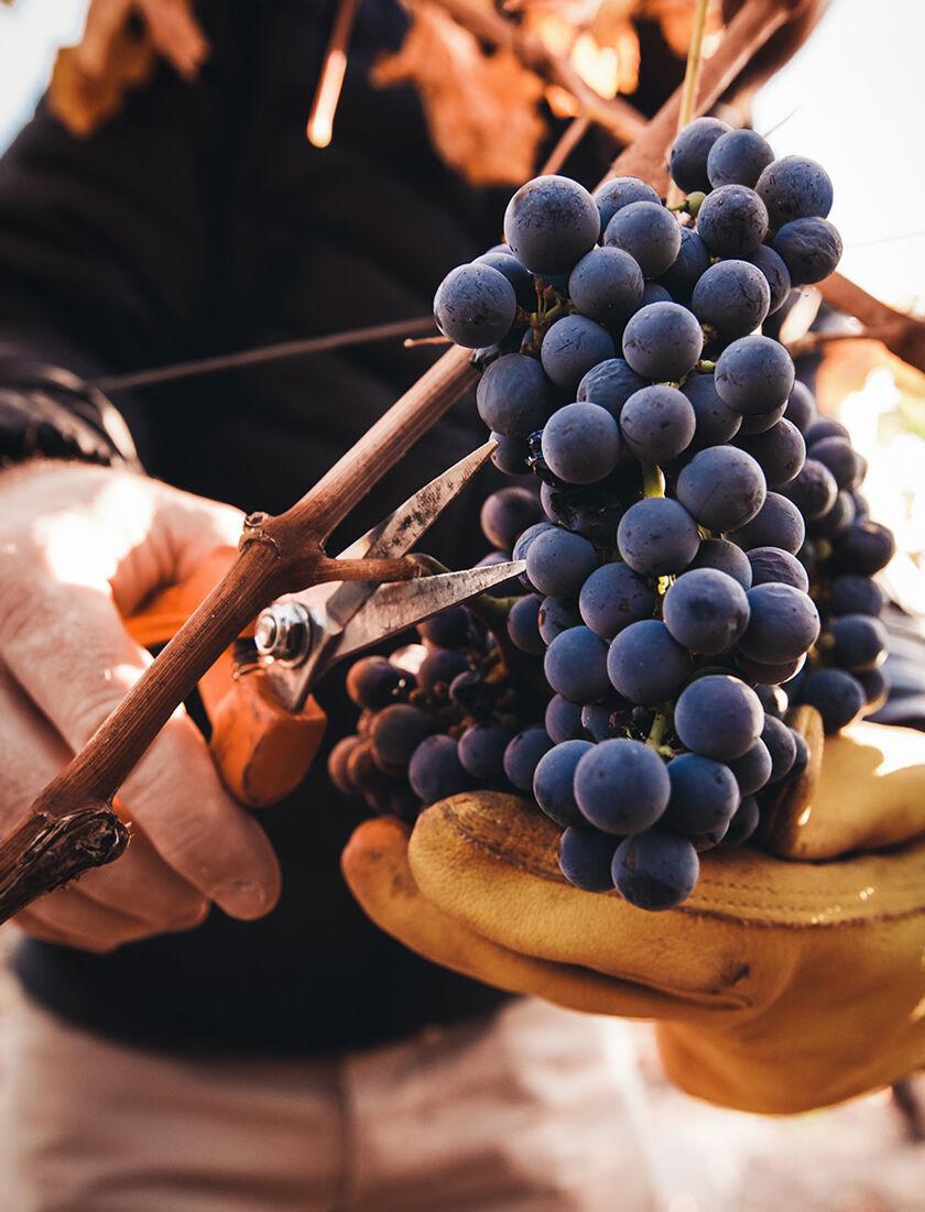 Harvesting Napa Valley Cabernet